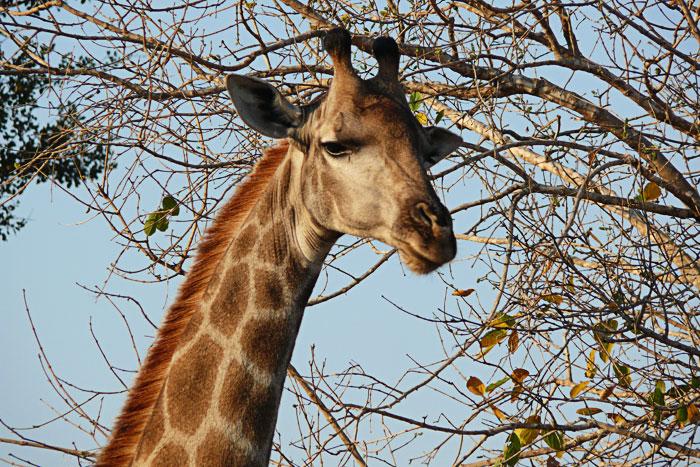 giraffe-Brian-Datnow