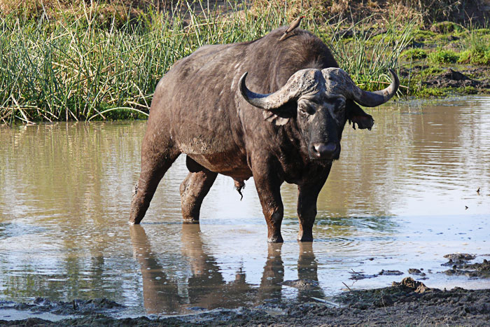 buffalo-Brian-Datnow
