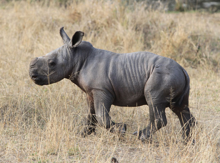 New hope and inspiration brought on by the sighting of a baby White Rhino - Adam Bannister