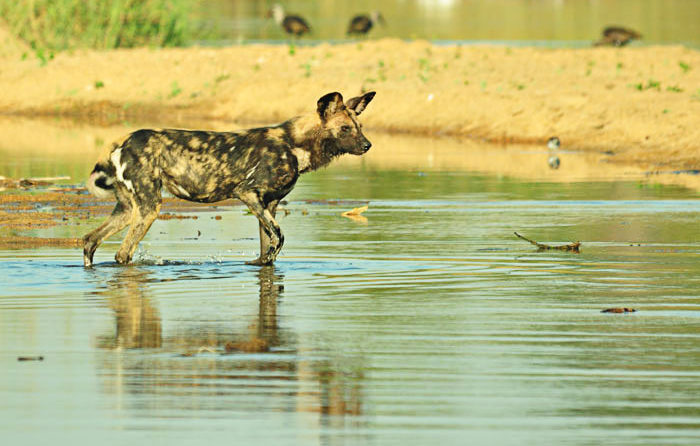 A member of the pack tests the waters of the Sand River - John Holley