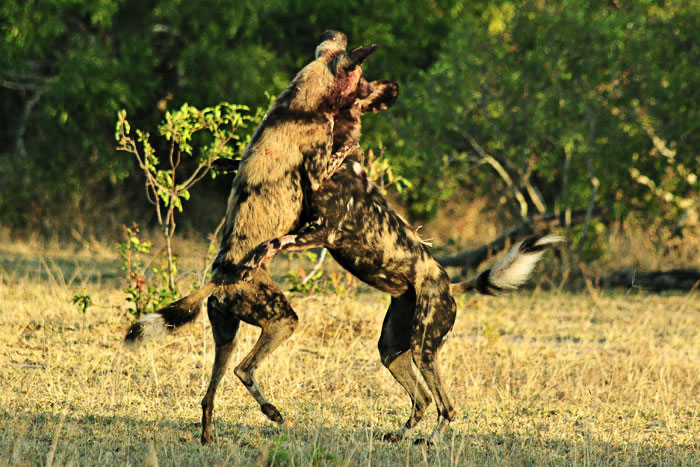 Two wild dogs in high spirits in the early morning light - John Holley