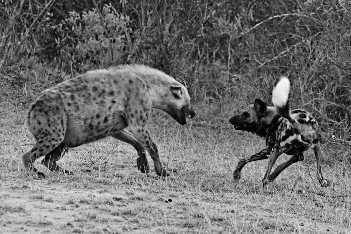 Wild-Dog-Hyena-Fighting-Black-and-white-John-Holley
