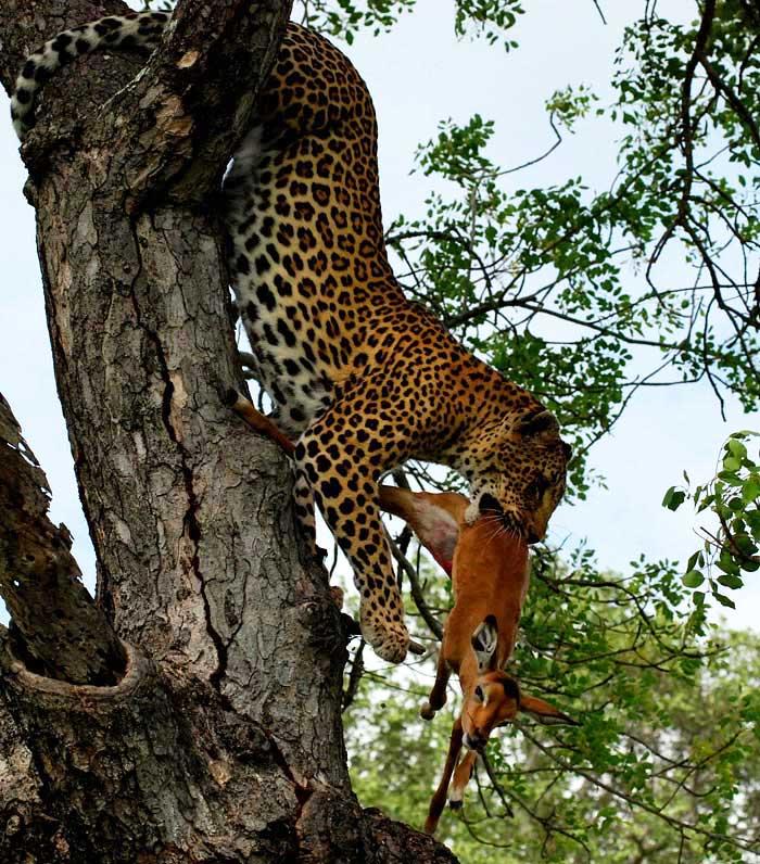 Vomba Female Munghen