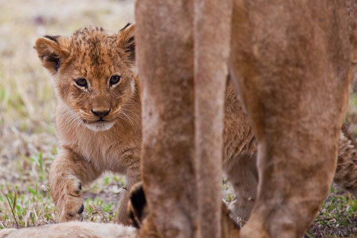 One of the younger cubs from the Tsalala pride peers out from behind her mother - Rich Laburn