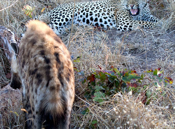 Maxabene 3:2 Young Male snarling at hyena - Michael Moss
