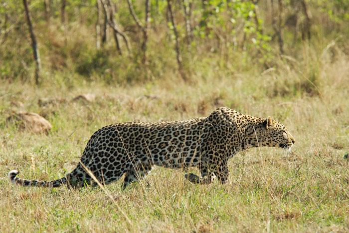 Piva pan leopard