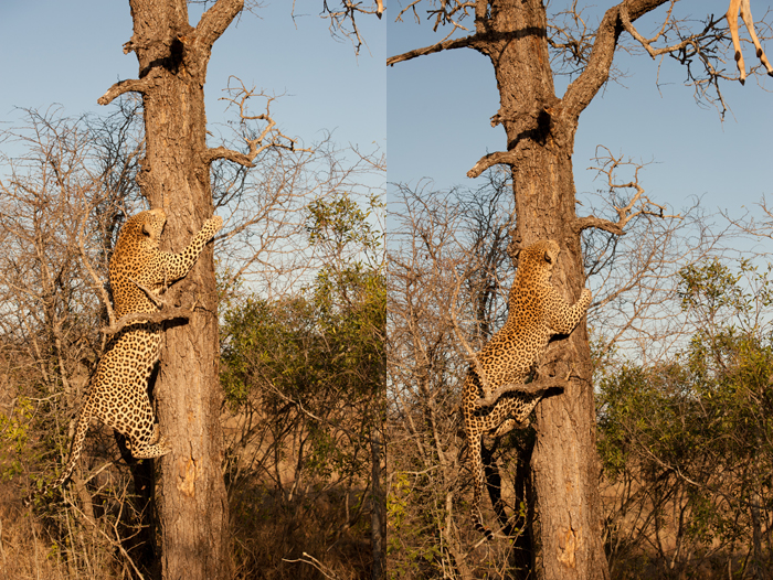Camp Pan Male climbing tree up to impala hoist - Stoff Kane-Berman