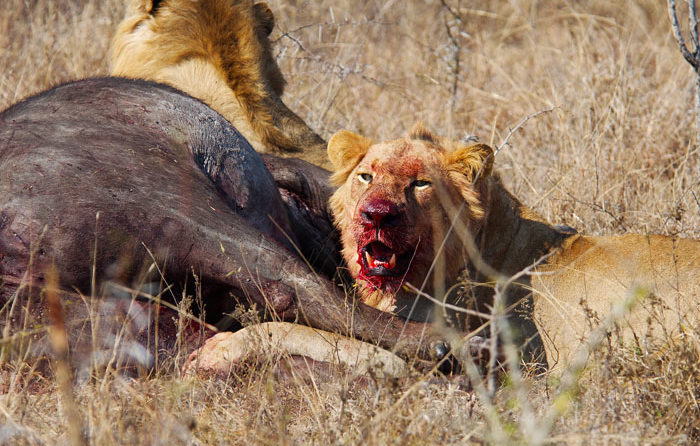 After a successful hunt, the Southern Pride feasted on the carcass for days on end. - Talley Smith