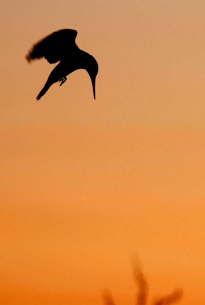 pied kingfisher by graeme marais