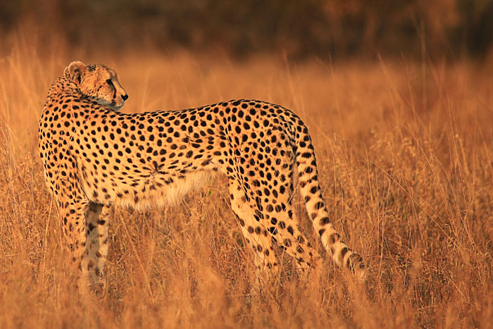 A male cheetah stops to turn at look over his shoulder - Rich Laburn