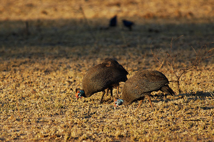 Some Guinea fowl peck at the ground in the afternoon sunlight.