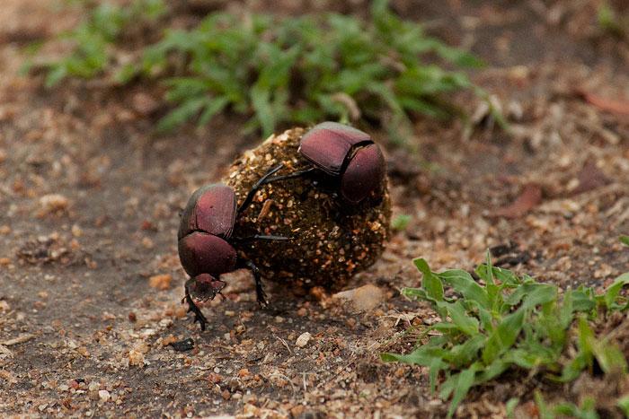 dung beetles, Londolozi, KNP