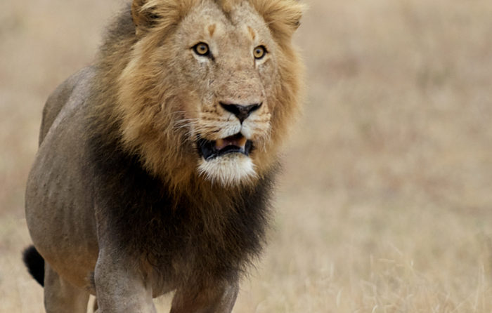Dark Maned Majingilane Male Lion