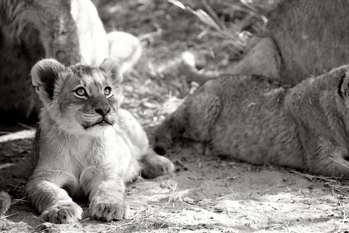 Tsalala Cubs