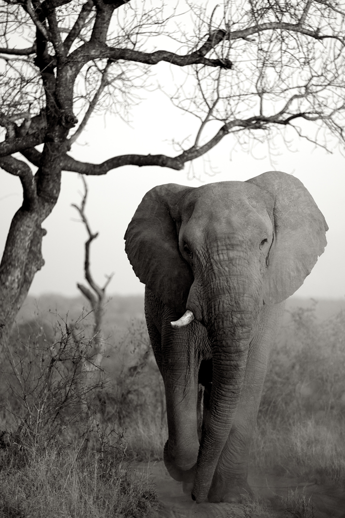 Dusty Elephant Bull
