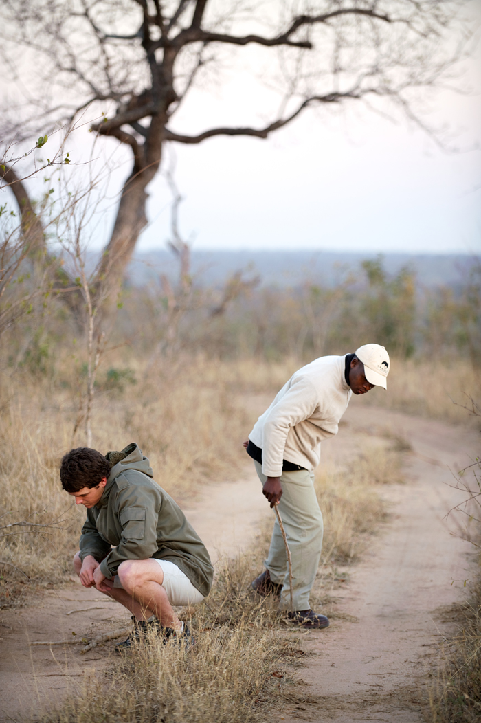 Early Morning Tracking Leopard
