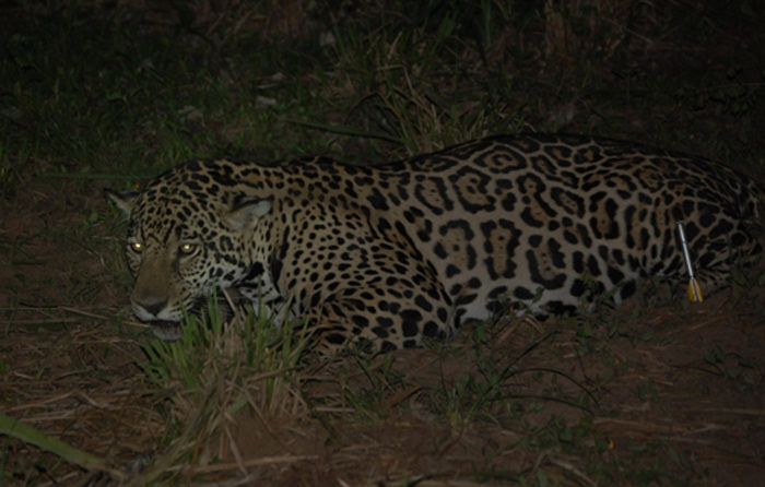 Female Jaguar