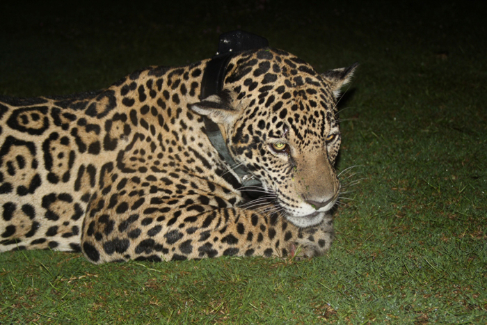 Ambassador Female Jaguar