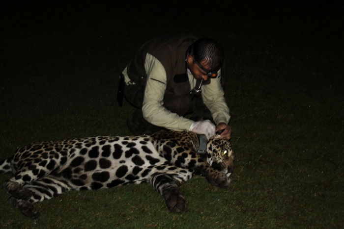 Collaring Jaguar in the Pantanal