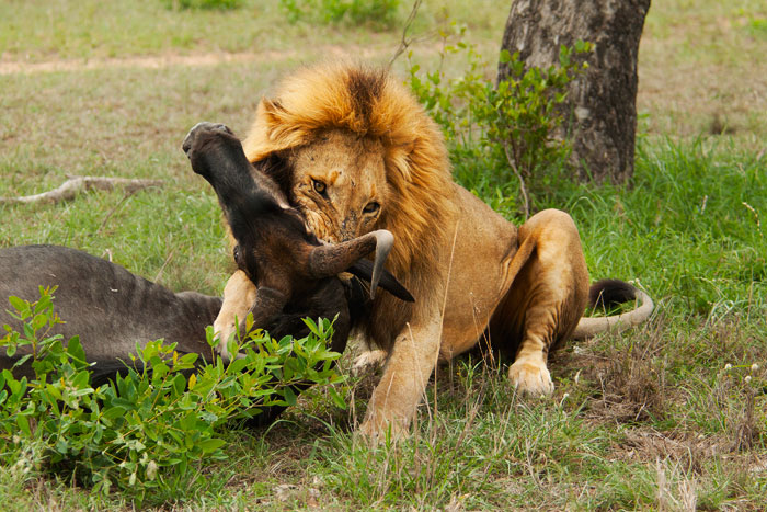 A male lion suffocates a wildebeest by biting its neck