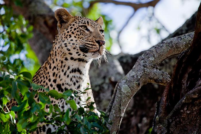 Tutlwa-Female-Staring
