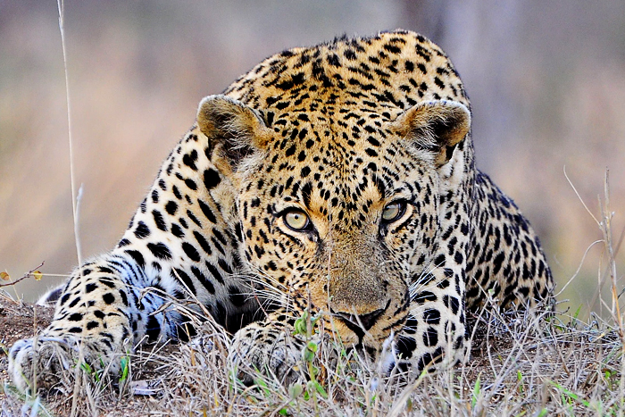 Short Tail Male Leopard
