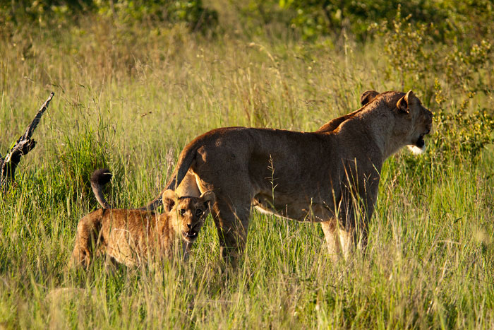 ximungwe pride lioness and cub