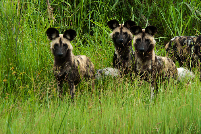 wild-dogs-look-at-river