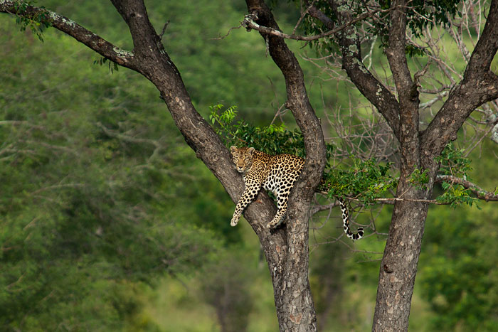 unrelaxed-female leopard-in-tree
