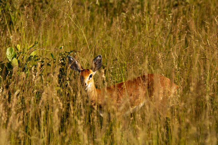 steenbok-in-tall-grass