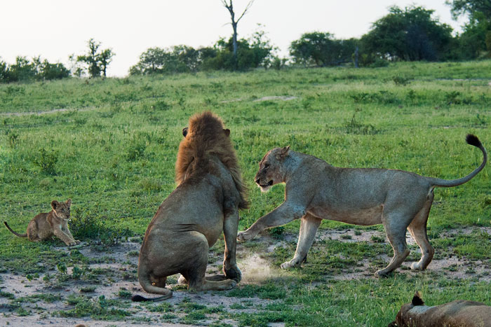 lioness-swats-male