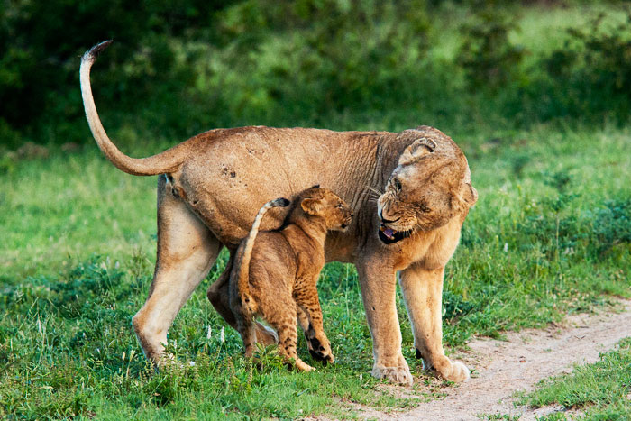 Lioness-scowls-at-cub