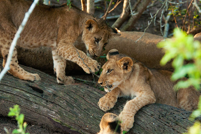 Spart Cubs Playing with Twigs