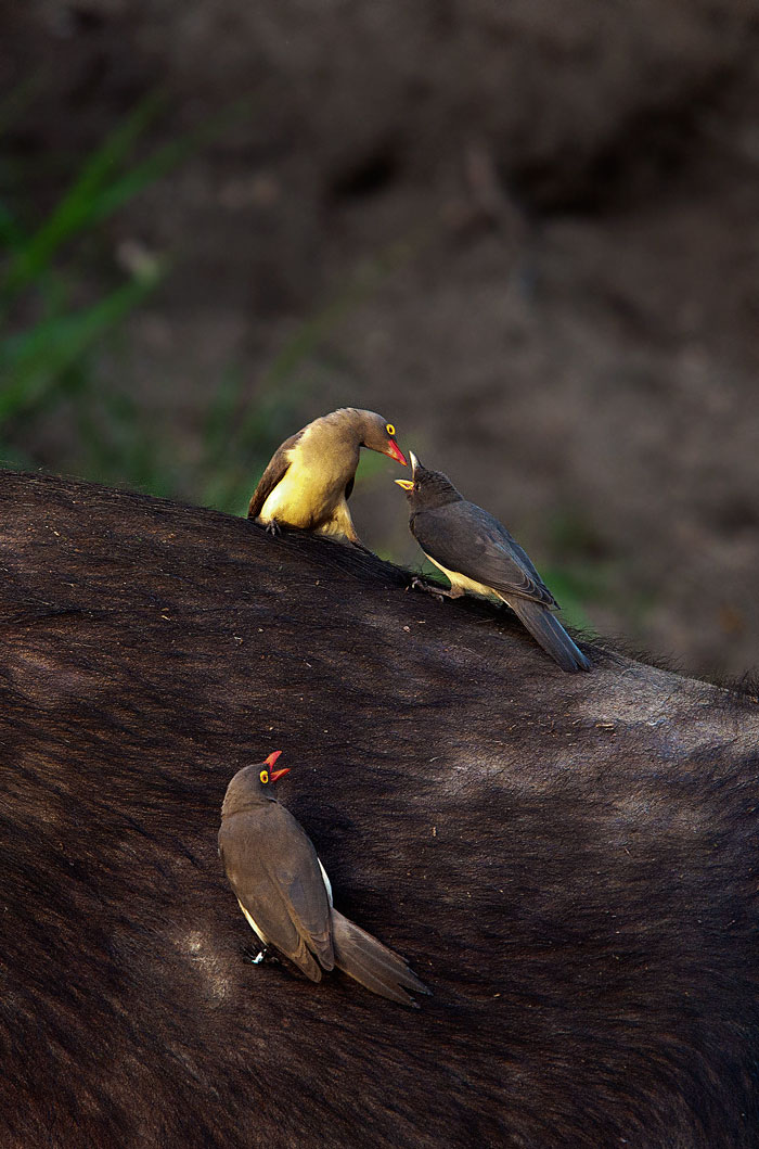 Oxpecker-feeding-baby