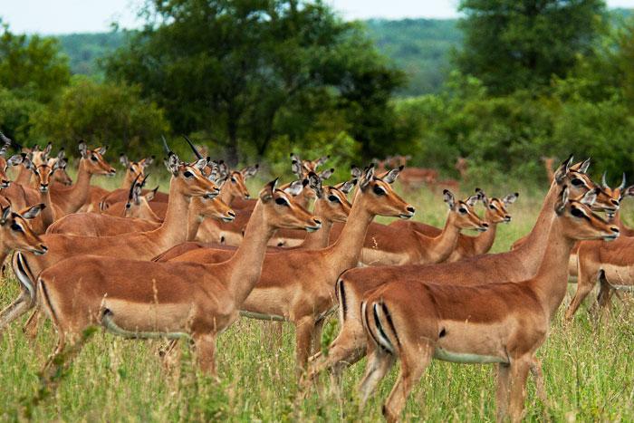 Impala-stare