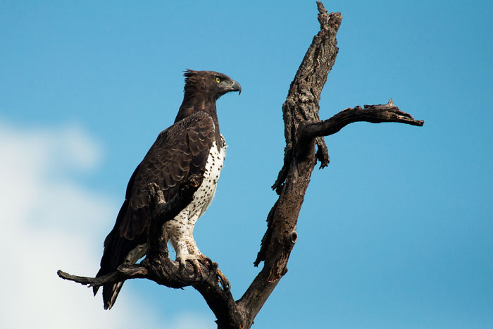 Martial-eagle-perch