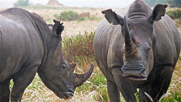 A pair of White Rhinos