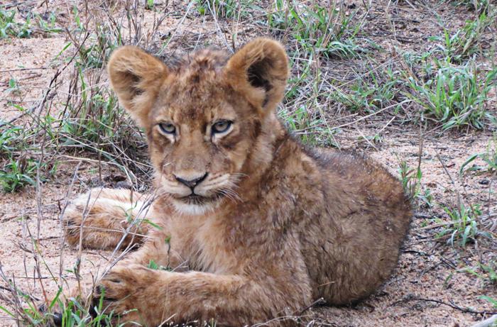 The Young Tsalala Lion Cub
