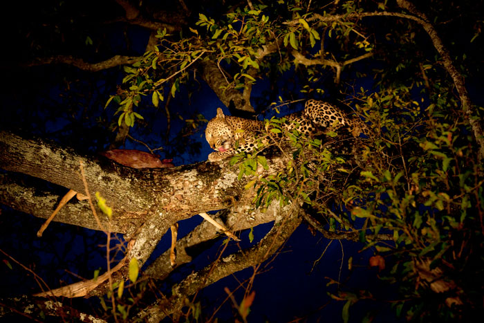 Camp Pan Male Feeding in a Tree - Lauren Major