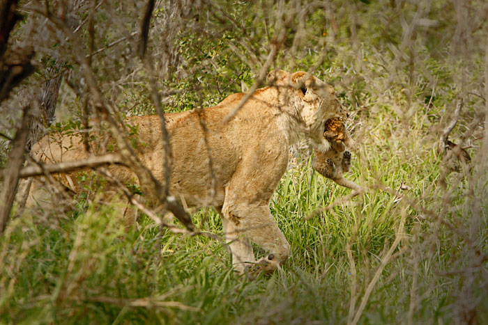 The Lioness disappears into the scrub with her young cub - James Tyrrell