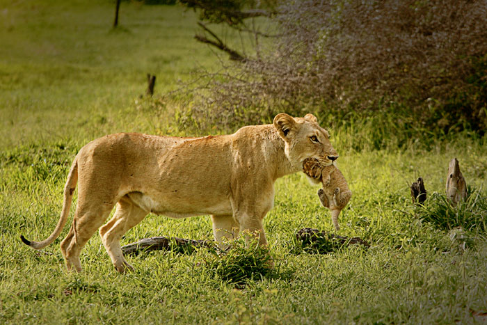 The Sparta lioness carries one of her cubs across a clearing on her way to her new den site - James Tyrrell