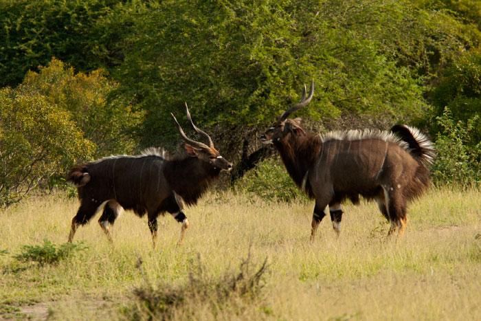 2 nyala bulls gear up to fight