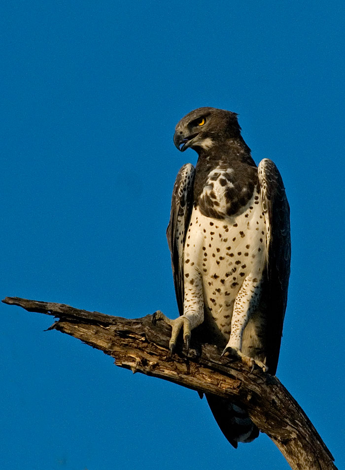 A regal Martial Eagle sits atop its perch keeping an eye out for a potential meal. Their favorite meal is a monitor lizard, but they will take anything up to the size of an impala lamb if they get the chance