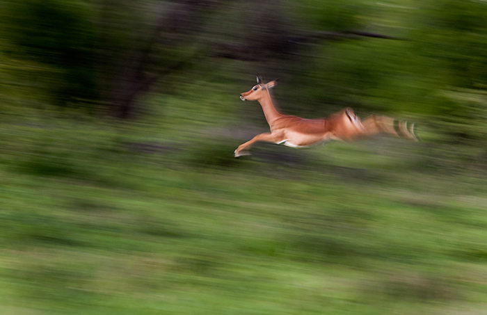 After som time taking photos you generally begin to explore the capabilities of your camera and try new things. This an example of a motion blur shot which I have tried a few times in my weekly Leopard's of Londolozi post. This time an impala is captured mid-jump.