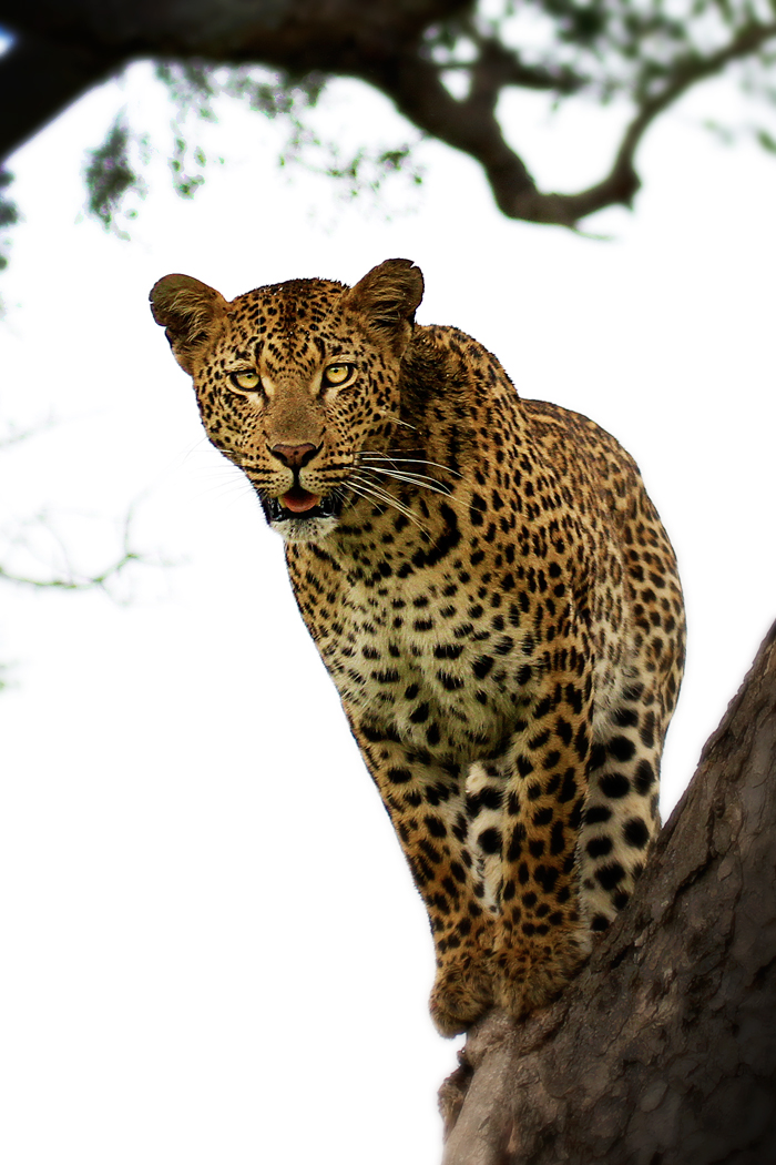 Vomba Young Female Up a Tree - James Hobson