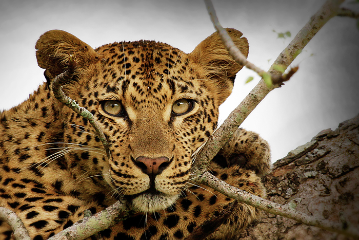 Vomba Young Female Resting - James Hobson