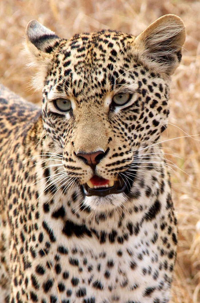 One of the many leopards seen during the Safari