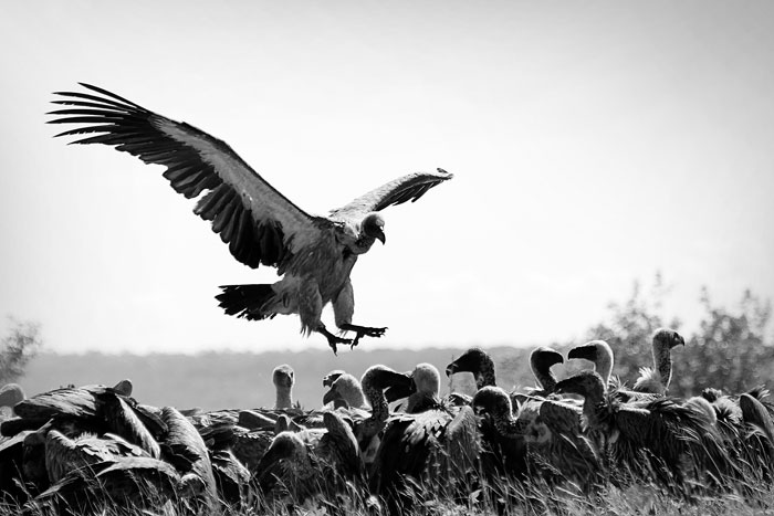 White Backed Vultures Feeding by James Hobson