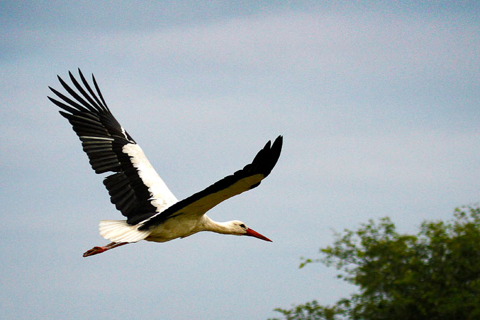 White Stork by James Hobson