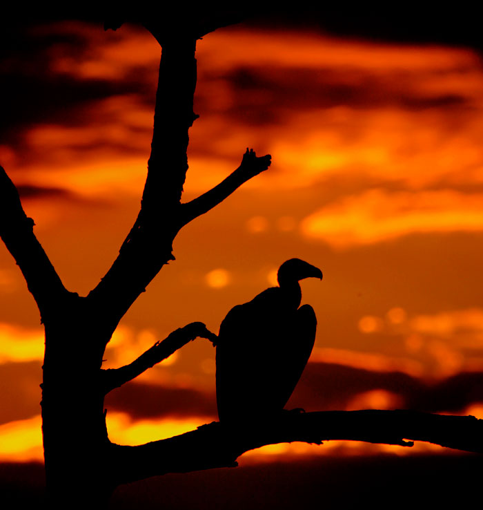 White Back Vultures at Sunset by James Hobson